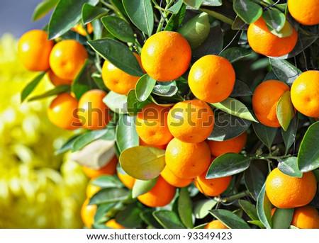 chinese kumquat for chinese new year - stock photo