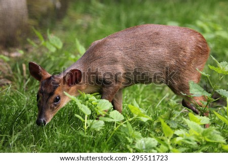 Chinese muntjac (Muntiacus reevesi), also known as the Reeves's muntjac. Wildlife animal.  - stock photo