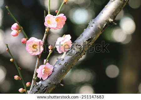 Chinese Plum,Japanese Apricot,pink flowers and buds,beautiful pink flowers blooming in the garden in spring  - stock photo
