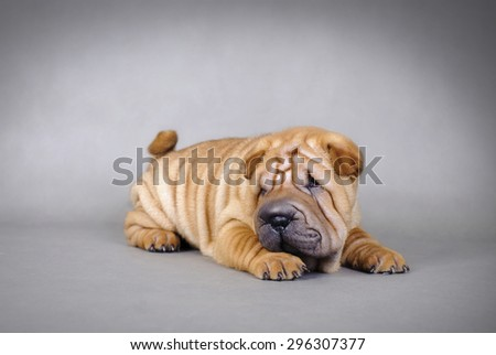 Chinese Shar pei puppies portrait - stock photo