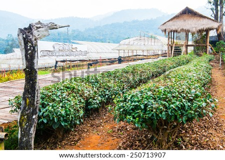 Chinese Tea Garden at Chiang Mai Royal Agricultural Research Centre Khun Wang, Thailand. - stock photo