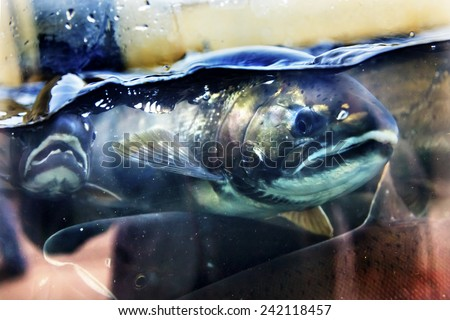 Chinook salmon stock photos images pictures shutterstock for Big fish issaquah