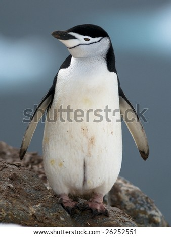 Chinstrap penguin - Antarctica - stock photo