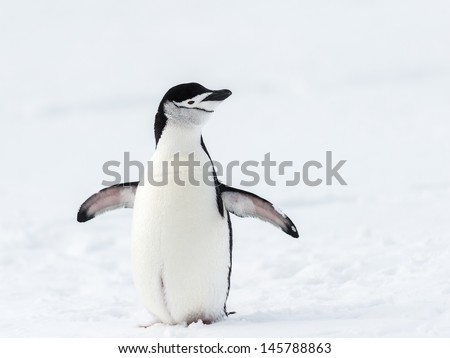 Chinstrap penguin on the southern pole - stock photo