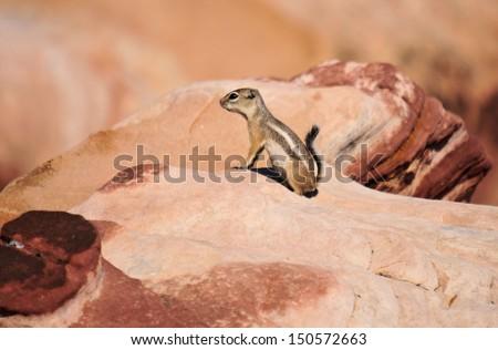 Chipmunk at Red Rock Canyon / Chip Rock  - stock photo
