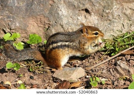 Chipmunk Eating A Peanut - stock photo