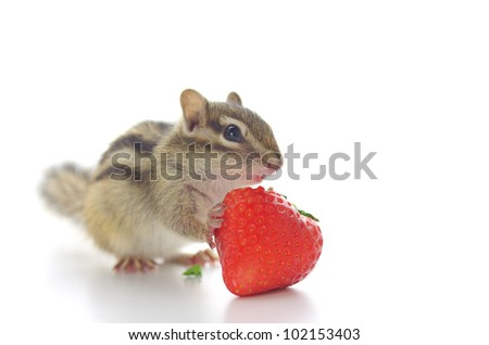 Chipmunk eating a strawberry - stock photo