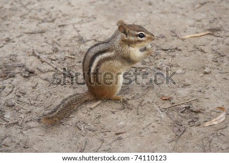 Chipmunk Eating Nuts - stock photo