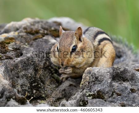 Chipmunk Eating Peanuts - stock photo