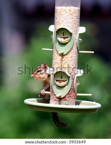 chipmunk feeding in bird feeder - stock photo