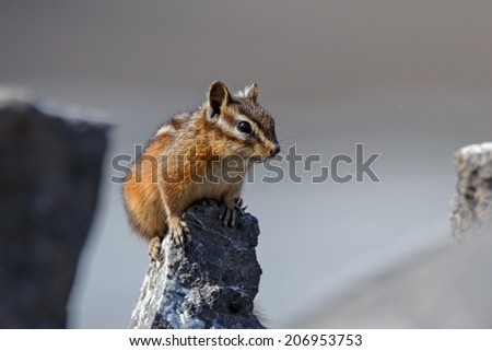 Chipmunk in a alert pose - stock photo
