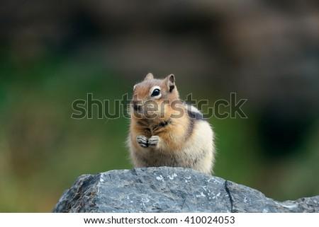 Chipmunk in Banff national park in Canada. - stock photo