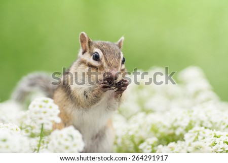 Chipmunk in flower garden. - stock photo