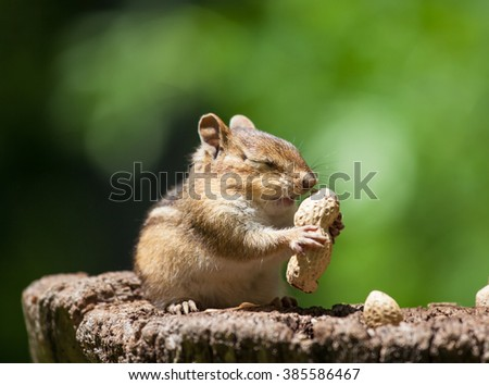 Chipmunk is smelling peanuts - stock photo