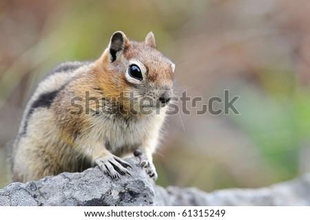 Chipmunk on a boulder - stock photo