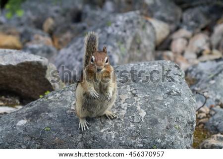 Chipmunk on a rock - stock photo