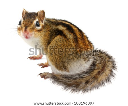 Chipmunk on white background - stock photo