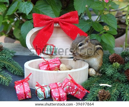 chipmunk opening his presents and peanuts for the holidays - stock photo