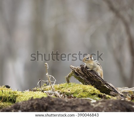 Chipmunk stands on a piece of old, decaying wood.  Springtime in Wisconsin. - stock photo