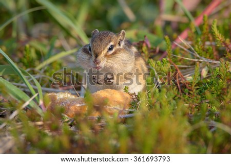 Chipmunk, the northern part of Sakhalin Island, Russia. - stock photo
