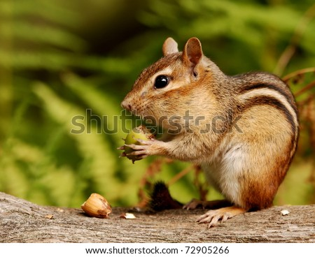 chipmunk with an acorn snack - stock photo