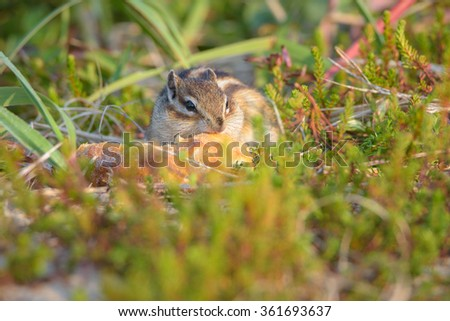 Chipmunks. Wildlife of the northern part of Sakhalin Island, Russia. - stock photo