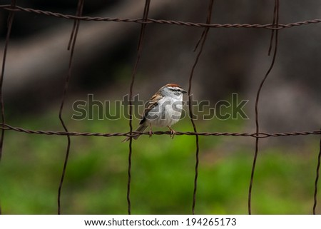 Chipping Sparrow on a wire fence - stock photo