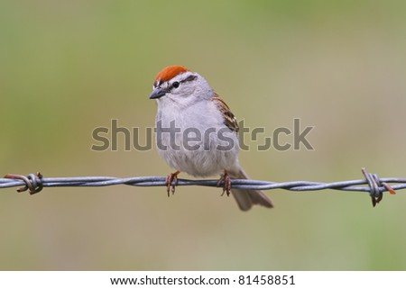 Chipping sparrow perched on a barbed wire - stock photo