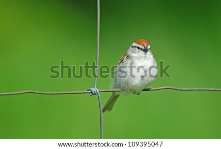 Chipping sparrow perching on wire fence, isolated against muted green background - stock photo