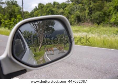Chital deer, or spotted Deer on street ,side mirror car - stock photo