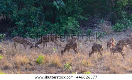 Chital or cheetal deer (Axis axis), also known as spotted deer or axis deer in the Bandhavgarh National Park in India.  - stock photo