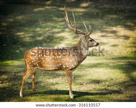 Chital or cheetal deer (the latin - Axis axis), also known as spotted deer or axis deer - stock photo