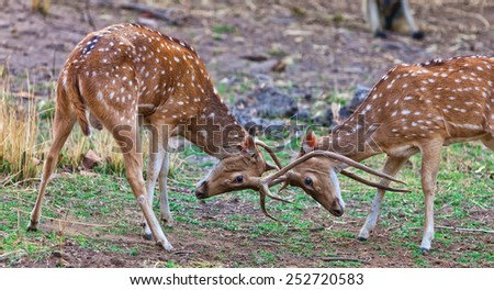 Chital or cheetal deers (Axis axis), also known as spotted deer or axis deer fighting in the Bandhavgarh National Park in India. Bandhavgarh is located in Madhya Pradesh. - stock photo