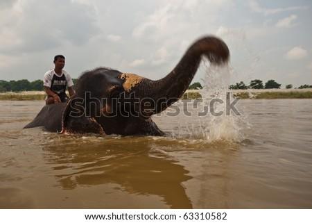 CHITWAN NATIONAL PARK, SAURAHA, NEPAL- CIRCA SEPTEMBER 2009: Asian Elephant (Proboscidea Elephas maximus) squirts Unidentified rider circa September 2009 in river in Chitwan National Park, Nepal. - stock photo