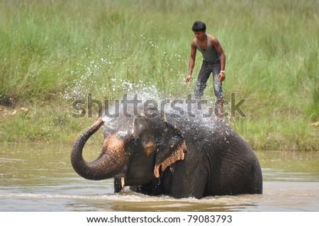 CHITWAN NATIONAL PARK, SAURAHA, NEPAL MAY 2011: Unidentified man seats on bathing Asian Elephant (Proboscidea Elephas maximus) 19 May. 2011 in Chitwan National Park river, Nepal. - stock photo