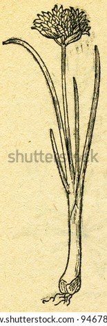 """Chives - Allium schoenoprasum - an illustration from the book """"In the wake of Robinson Crusoe"""", Moscow, USSR, 1946 - stock photo"""