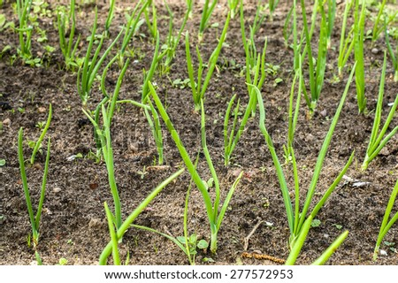 Chives sprouted in spring. Green onions on a bed planted in neat rows.  - stock photo