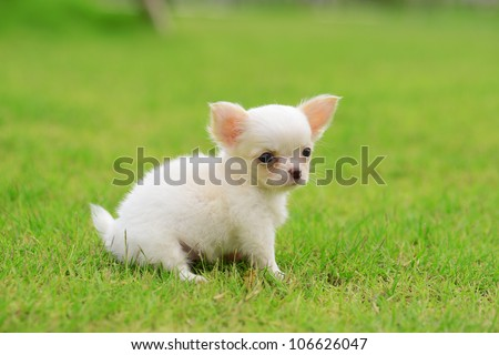chiwawa puppy dog on grass in park - stock photo
