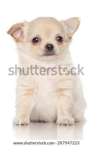 Chiwawa puppy in front of white background - stock photo