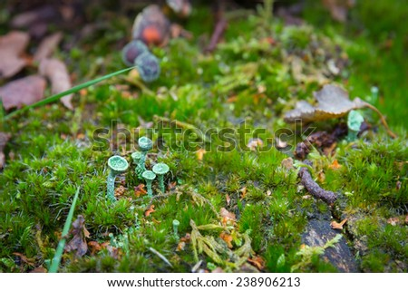 Chlorociboria aeruginascen also known as The green elfcup - stock photo