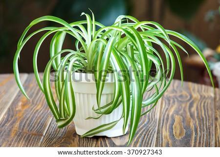 Chlorophytum in white flowerpot on wooden background . Ornamental plants in pot /Variegatum,comosum. Spider Plant - stock photo
