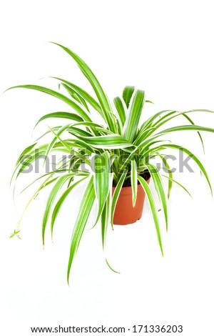 Chlorophytum isolated on white background - stock photo