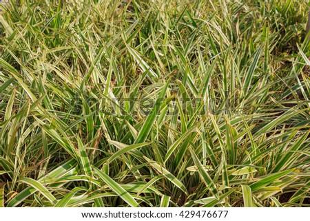 Chlorophytum leaves green background - stock photo