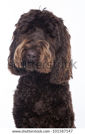 chocolate brown Labradoodle isolated on a white background - stock photo