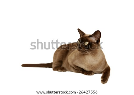 Chocolate Burmese cat - stock photo