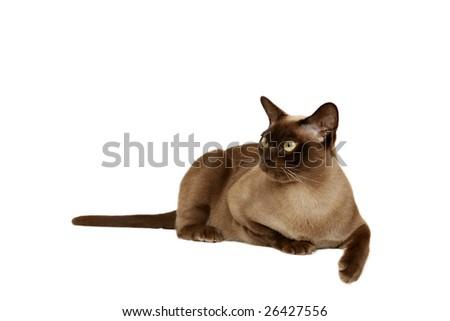 Chocolate Burmese cat - stock photo