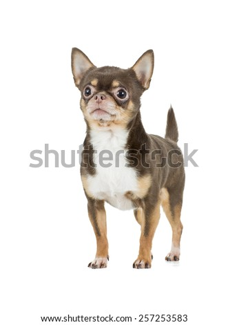 chocolate chihuahua dog - stock photo