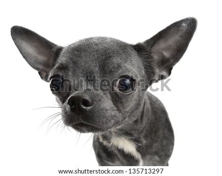 Chocolate Chihuahua puppy portrait  isolated on white - stock photo