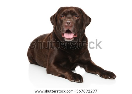 Chocolate color Labrador Retriever dog lying down in front of white background - stock photo
