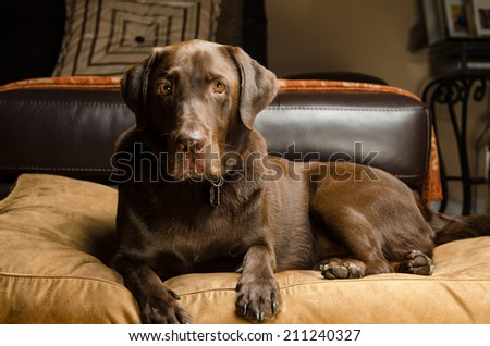 Chocolate lab in a home - stock photo
